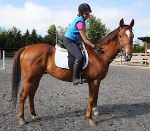 "Adult Male Horse - Thoroughbred: ""Gypsy Magic"""