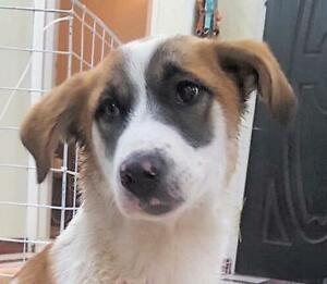 "Young Male Dog - Labrador Retriever-Border Collie: ""BANJO"""