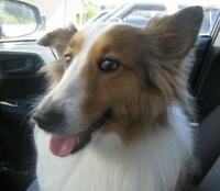 "Adult Female Dog - Shetland Sheepdog Sheltie: ""Misty"""