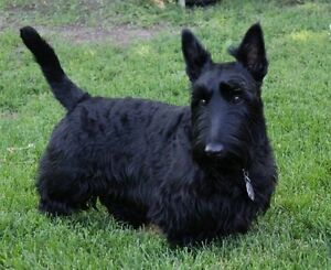 Pure Bred Scottish Terriers (All Sold)