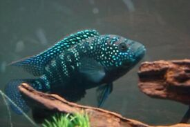 "Extra Large Jack Dempsey cichlids for sale 5"" live tropical fish"