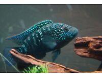 "Extra Large Jack Dempsey cichlids for sale 5"" live tropical fish"