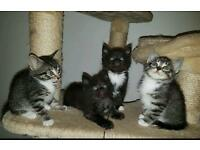 Gorgeous Litter Of Kittens Ready Now Can Deliver