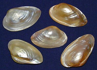 Polished Pink Mussels Pr.,Clam,Cockle,Scallop,Pecten Shells~2