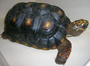 Female 6.5 inches Red foot tortoise looking for Male partner