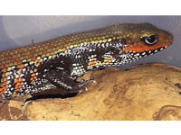 Fire Skink NO OFFERS