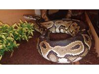 Beautiful, lovely natured Royal Python - Female with full viv setup