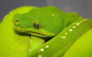Awesome 5 month old Green Tree Python with enclosure Speewah Tablelands Preview