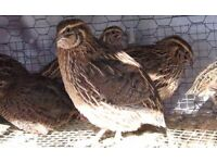 Japanese Quail For Sale