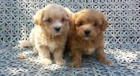 *TOP QUALITY* TINY TOY MALTI-POO PUPPIES SOLD/VENDU