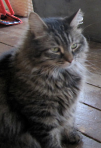 Missing Cat - brown and black tabby