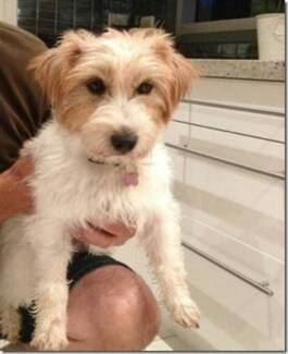 RSPCA LOST DOG - RAINBOW AID 889482 - BEECHMONT - 28/09/15 Beechmont Ipswich South Preview