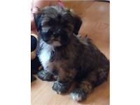Beautiful pedigree Lhasa apso puppy