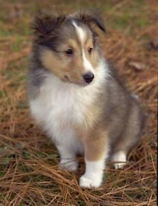 Wanted. Shetland sheepdog puppies South Windsor Hawkesbury Area Preview