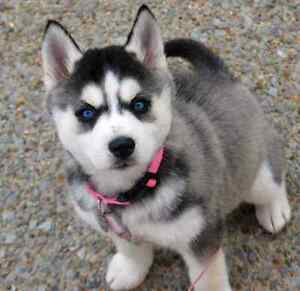 I'M looking for a Husky Puppy want is for sale