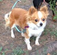 "Adult Female Dog - Chihuahua: ""Rosie"""