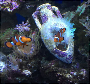 Mated Clown fish pair plus large Anemone