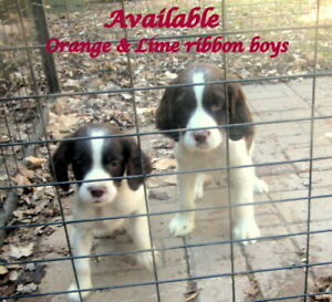 English Springer Spaniel Male Puppies, CKC REG. Reserve Now