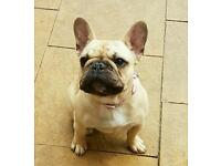 Very sad sale 7 months old French bulldog