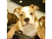 Ready now KC Registered Red & White Bulldog