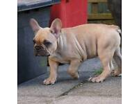 Quality French bulldogs for Sale