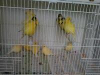 Canary s x 6 cocks 48 pounds