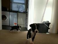 2 Black & White Male Whippet Puppys