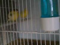 Canary s Fifes x 8 pair's