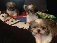 Shih tzu puppies for sale ready to go