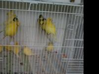 Canary s x 25