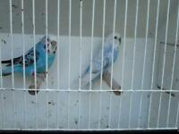 Budgies and cage on stand
