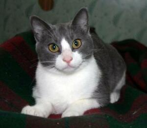 """Young Male Cat - Domestic Short Hair: """"Norton Millet"""""""