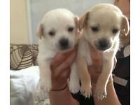 Jackararian puppies