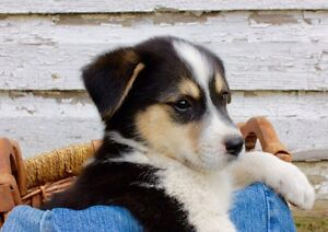 Cute Labrador Husky Cross!!!