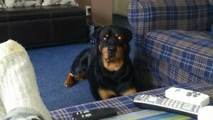 Chienne rottweiler pure race