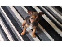 Beautiful Black and TAN 10 week old jackhuahua boy puppy.