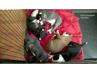 NEBR registered old english bulldogs for sale.. FINAL TWO