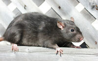 Looking for a female baby rat