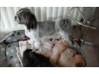Puppys shitzu & pomeranian