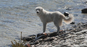 Great Pyrenees for a farm