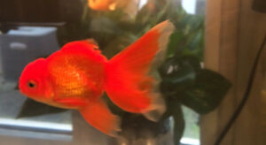Goldfish to rehome