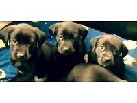 Labrador x collie pups