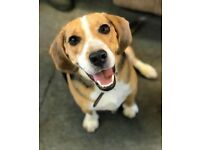 Beagle dog 1 year and 9 months old