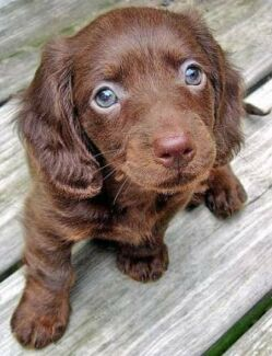 Wanted: Looking for a long haired chocolate tan male puppy