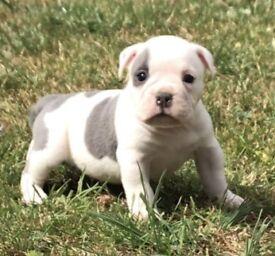 Old English bulldogge puppy