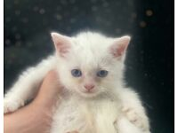 Beautiful ragdoll x kittens