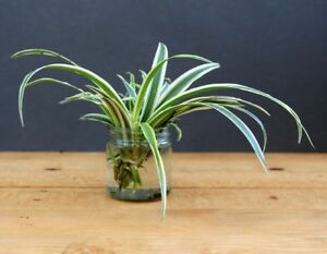 Baby Spider Plants (Air Purifier plant)