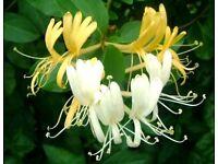 Japanese honeysuckle (Lonicera japonica)