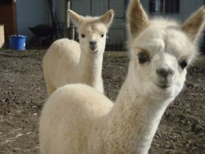 KNITTERS..MEET THE ALPACAS...ANNUAL OPEN HOUSE