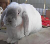 "Senior Male Rabbit - Lop Eared: ""Yoshi"""